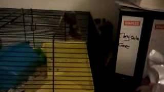 Ferret Vs Hamster