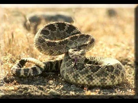 самые опасные гремучие змеи - DomaVideo.Ru