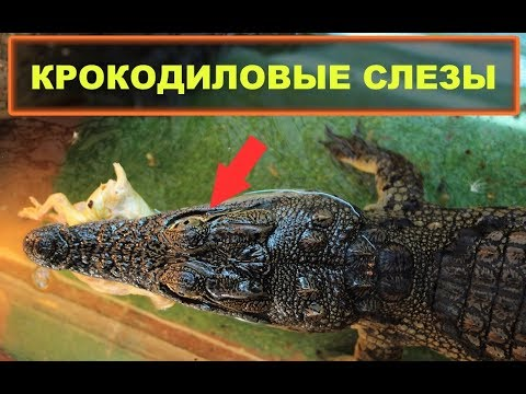 что означает крокодиловы слёзы коротко
