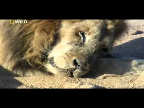 Last Moments of a Lion's Life