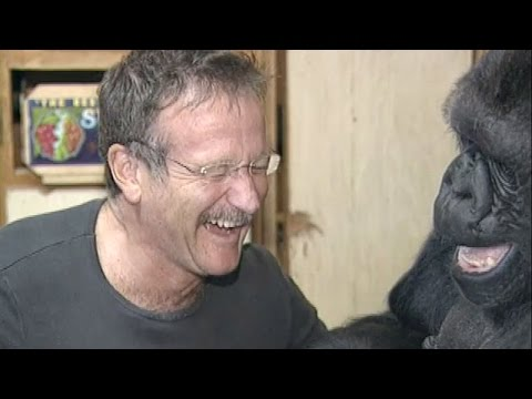 williams - Robin Williams met Koko in 2001. It was a very cheerful encounter for both, and Koko has treasured it to this day. When Koko learned of Robin's passing (on Aug. 11, 2014) she became very...