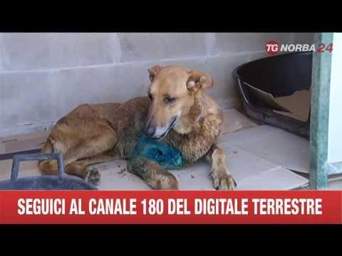 cagnolina rischia la vita per salvare un bambino da 5 rottweiler