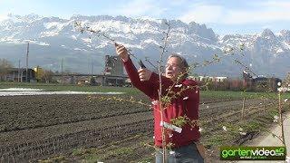 Die Zierkirsche Prunus Accolade