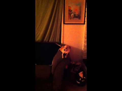 Chihuahua singing to the Chipmunks Christmas Song