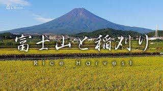 富士吉田 富士山と稲刈り / Rice Harvest, Mount Fuji, Japan