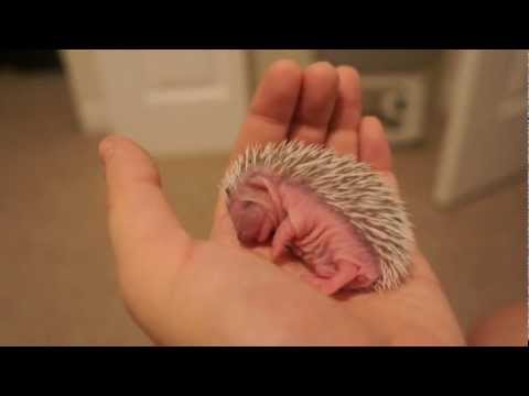 7 Day Old Hedgehog