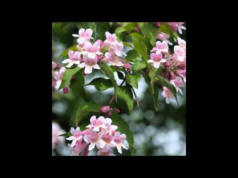 kolkwitza amabilis – caratteristiche