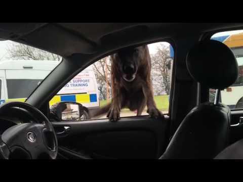 Police Dog's Spectacular Entrance into a Suspicious Car
