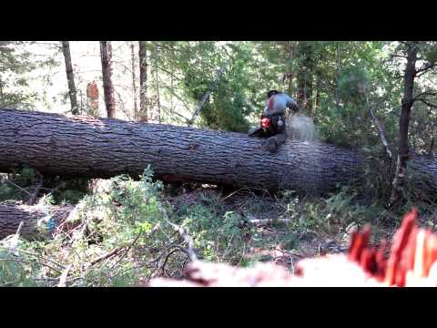 first 32' off a large sugar pine