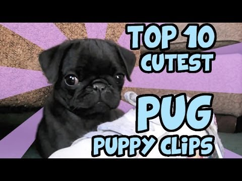 pug - a cute special dog