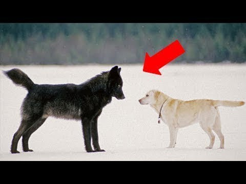 Here's What Happened When A Dog Came Face To Face With A Wild Wolf