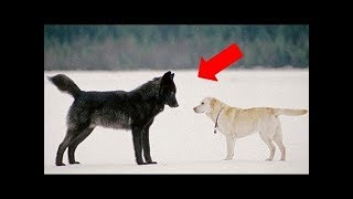 Video Here's What Happened When A Dog Came Face To Face With A Wild Wolf MP3, 3GP, MP4, WEBM, AVI, FLV Maret 2019