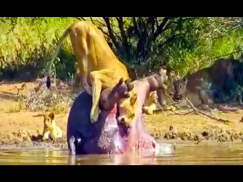 獅子正在吃河馬不料 屍體爆出大便嚇壞了!
