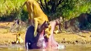 Incredible video of a lioness feasting on a dead hippo when suddenly the insides of the hippo comes out and explodes. Taken on ...
