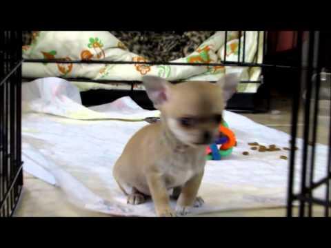 Dancing Teacup chihuahua