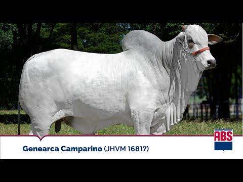 GENEARCA CAMPARINO (JHVM 16817) - Touro Nelore ABS