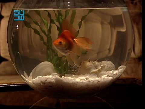 Samsung Plano TV - Goldfish