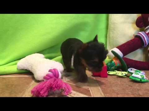 Teeny-yorkie female puppy