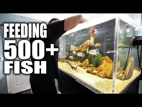 FEEDING 500+ FISH!!!_Legjobb videók: Akvárium