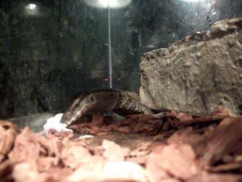 Feeding Time For Black Roughneck Monitor Lizard