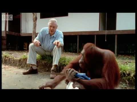 Attenborough%3A Amazing DIY Orangutans - BBC Earth