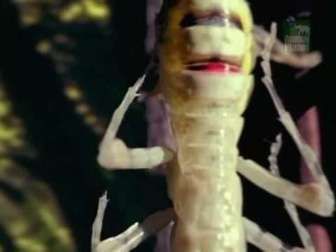 Rainforest Locust