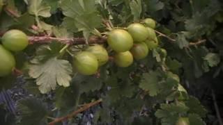 #93 Die Freuden des Pflanzenzüchters
