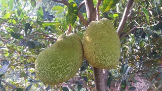 Video CANGKOK NANGKA...NEW GRAFTING JACKFRUIT MP3, 3GP, MP4, WEBM, AVI, FLV Agustus 2018
