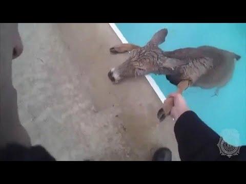 Διάσωση ελαφιού από πισίνα