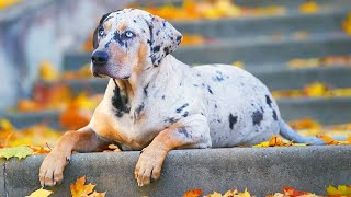 Video World's RAREST Dog Breeds Ever! MP3, 3GP, MP4, WEBM, AVI, FLV April 2018