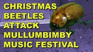 Mullumbimby Australia  city photo : Music Festival Mullumbimby Australia attacked by Christmas Beetles