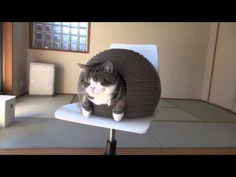 把貓窩放在椅子上...貓咪怎麼上去的呢?一起來看看牠扭動的屁屁示範給你看