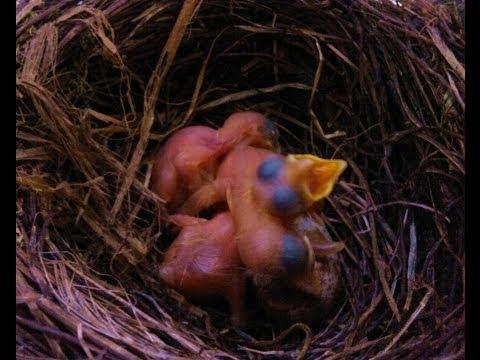 Mirlo primavera alimentando a sus polluelos.