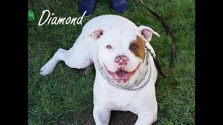 Diamond - Pit Bull Terrier (short coat) Dog For Adoption