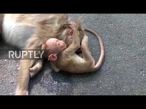 """Momenti prekës kur majmuni i vogël """"vajton"""" mbi trupin e nënës së ngordhur (Video,+16)"""