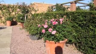 #955 Die Englische Strauchrose Boscobel im Kübel