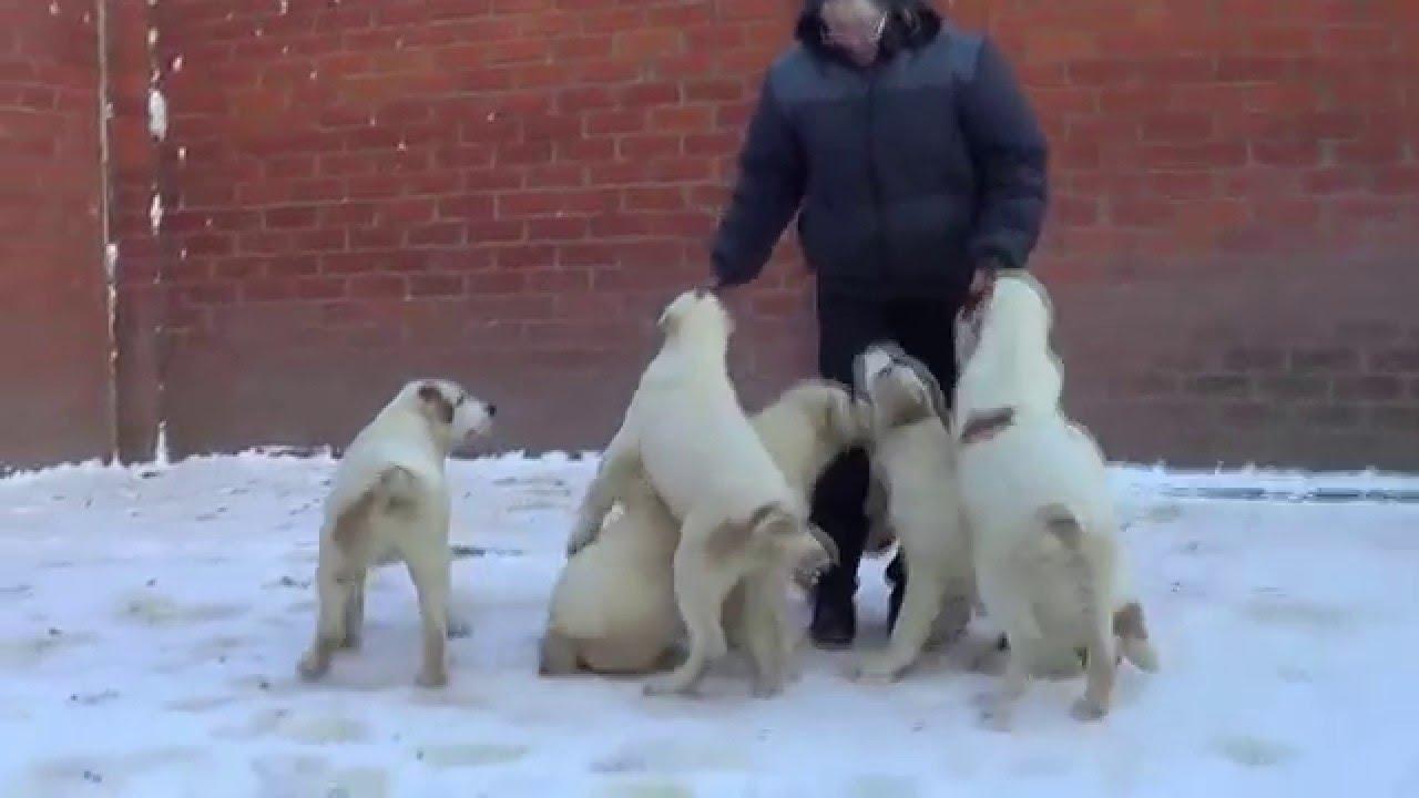 Смотреть онлайн: Щенки алабая, среднеазиатская овчарка, девочки 3 мес. 79262205603 Ягодкина татьяна wwwr-risk.ru