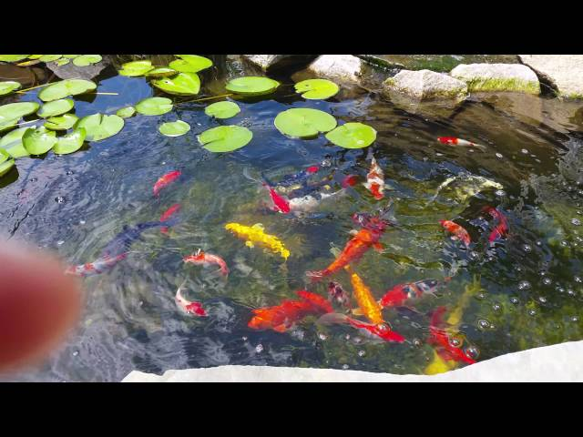 Amazing Koi Pond Crystal Clear Water