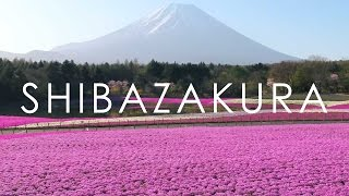 Mt. Fuji Pink Moss Festival at Lake Motosu / 富士本栖湖リゾート 富士芝桜まつり