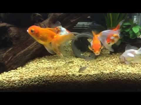 混泳水槽エサやり。 金魚(琉金・オランダ)、コリドラス(ジュリー)、オトシンクルス、サイアミーズ