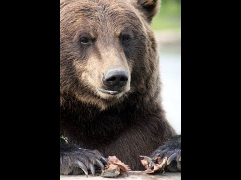 danewz1 - Grizzly bear kills backpacker in Alaska's Denali National Park.