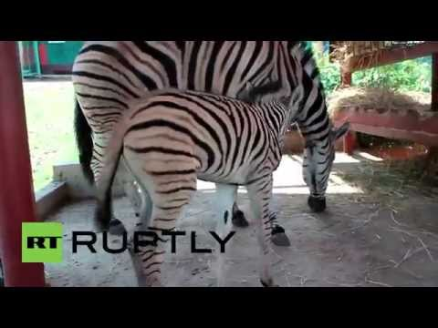 Russia: Two Adorable Zebra Calves Make Their First Public Appearance