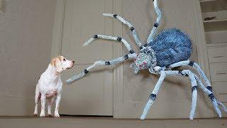 Dogs vs Giant Spider Prank: Funny Dogs Maymo, Penny, & Potpie by Maymo