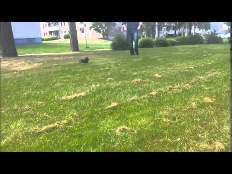 Chihuahua 12 weeks playing