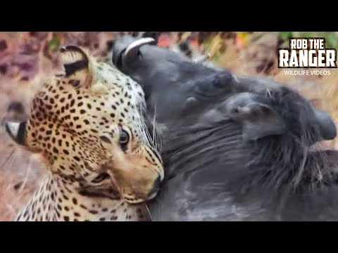 Incredible - PART 2: https://www.youtube.com/watch?v=m9uxBs5k8EI The Maxabeni 3:3 young male leopard takes on a warthog sow as big as himself. The leopard puts his own li...