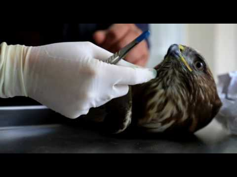 Milas'ta yaralı bulunan paçalı şahin korumaya alındı