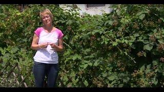 A tüskétlen szeder ültetése és gondozása - Kertbarátok - Kertészeti TV - műsor