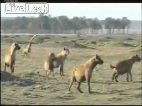 Lions and Hyena's Enemies Until the End--Brutal Footage