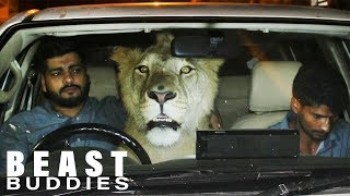 There's A Lion In My Car!   BEAST BUDDIES by Barcroft Animals