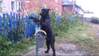 Собаку научили носить воду из колонки